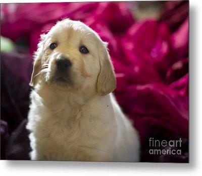 Golden Retriever Puppy Metal Print by Angel  Tarantella