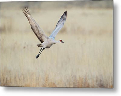 Sandhill Crane (grus Canadensis Metal Print by Larry Ditto