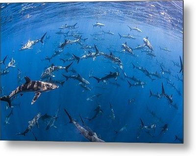151 Silky Sharks Metal Print