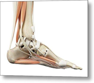 Human Foot Anatomy Metal Print by Sciepro