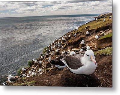 South America, Falkland Islands Metal Print