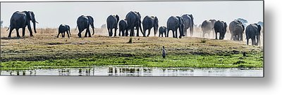 African Elephants Loxodonta Africana Metal Print by Panoramic Images
