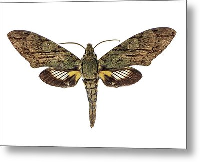 Hawk Moth Metal Print by F. Martinez Clavel
