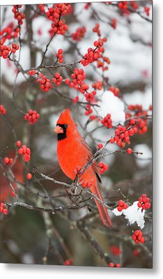 Northern Cardinal (cardinalis Cardinalis Metal Print by Richard and Susan Day