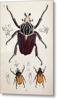 1845 Westwood Goliath Beetle Painting Metal Print