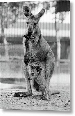 1940s Kangaroo Standing With Joey Metal Print