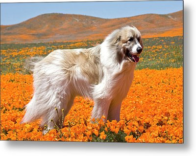 A Great Pyrenees Standing In A Field Metal Print by Zandria Muench Beraldo