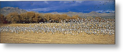 A Panoramic Of Thousands Of Migrating Metal Print by Panoramic Images