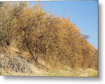 Abandoned Dead And Dying Orange Trees Metal Print by Ashley Cooper