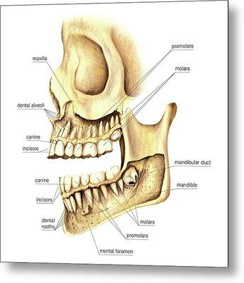 Adult Teeth Metal Print by Asklepios Medical Atlas