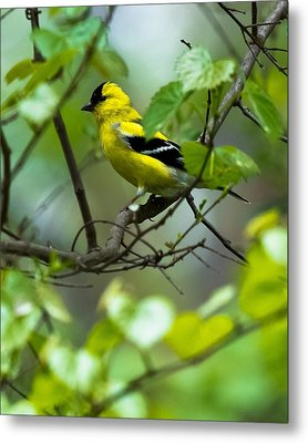 Metal Print featuring the photograph American Goldfinch by Robert L Jackson