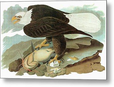 Audubon Eagle Metal Print by Granger