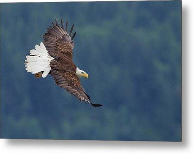Bald Eagle In Flight Metal Print by Ken Archer