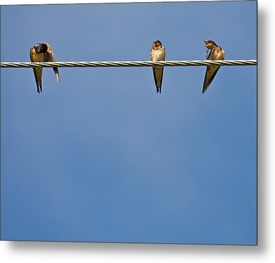 Barn Swallows Metal Print by Melinda Fawver