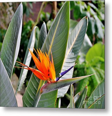Beauty Metal Print by Butch Phillips