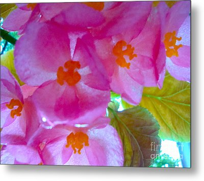 Begonia Debut Metal Print by Cathy Dee Janes