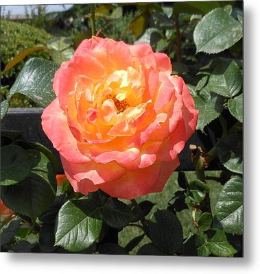 Metal Print featuring the photograph Beijing Rose  by Kay Gilley