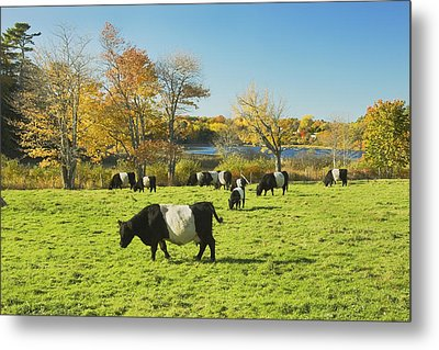 Belted Galloway Cows Grazing On Grass In Rockport Farm Fall Main Metal Print