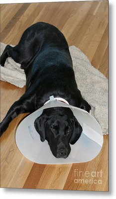 Black Labrador With Elizabethan Collar Metal Print by William H. Mullins