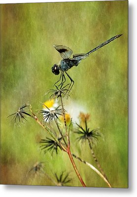 Metal Print featuring the photograph Blue Dragonfly by Dawn Currie