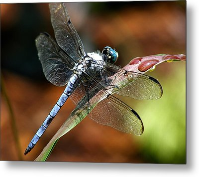 Metal Print featuring the photograph Blue Dragonfly by Kelly Nowak