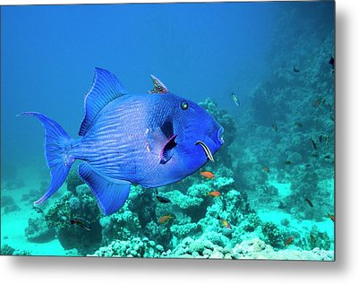 Blue Triggerfish And Cleaner Wrasse Metal Print by Georgette Douwma