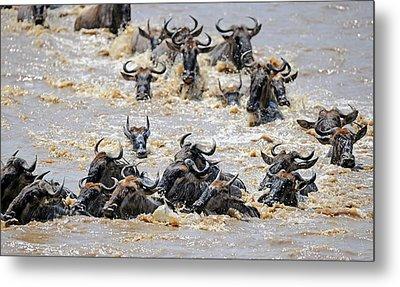Blue Wildebeest Migration Metal Print by Bildagentur-online/mcphoto-schulz