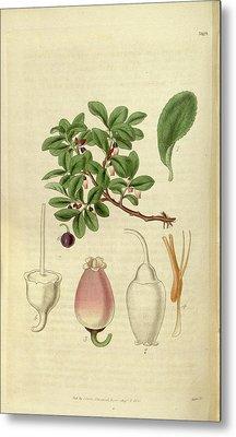Botanical Print Or English Natural History Illustration Metal Print by Quint Lox