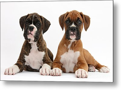 Boxer Puppies Metal Print by Mark Taylor