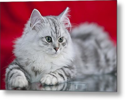 British Longhair Kitten Metal Print