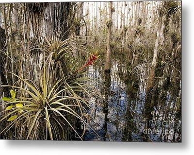 Bromeliad Tillandsia Fasciculata Metal Print by Bob Gibbons