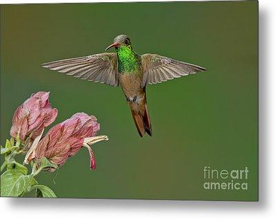 Buff-bellied Hummingbird Metal Print by Anthony Mercieca