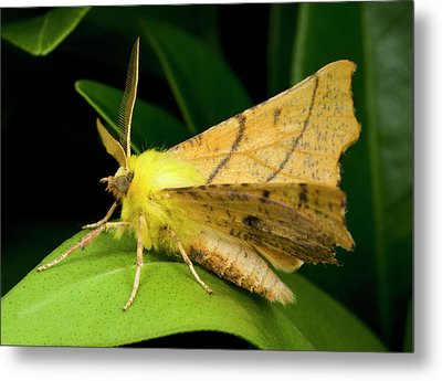 Canary-shouldered Thorn Moth Metal Print by Nigel Downer