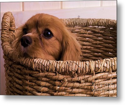 Cavalier King Charles Spaniel Puppy In Basket Metal Print by Edward Fielding
