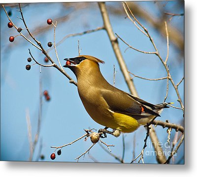 Cedar Waxwing With Berry Metal Print by Robert Frederick