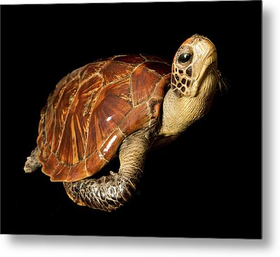 Chelonia Mydas Metal Print by Natural History Museum, London