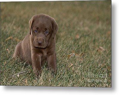 Chocolate Labrador Puppy Metal Print by Linda Freshwaters Arndt