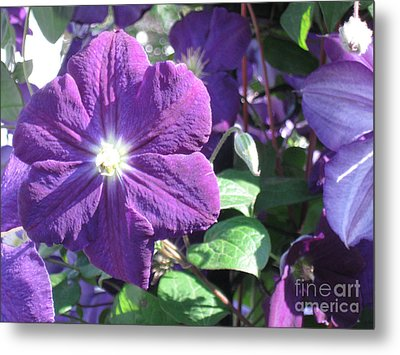 Clematis With Blazing Center Metal Print