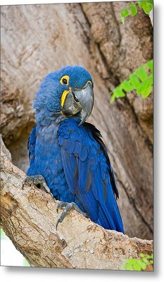 Close-up Of A Hyacinth Macaw Metal Print