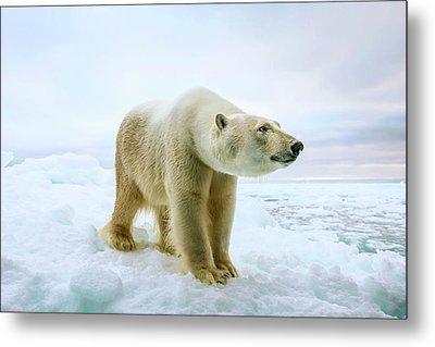 Close Up Of A Standing Polar Bear Metal Print by Peter J. Raymond