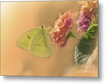 Clouded Sulphur Butterfly Metal Print