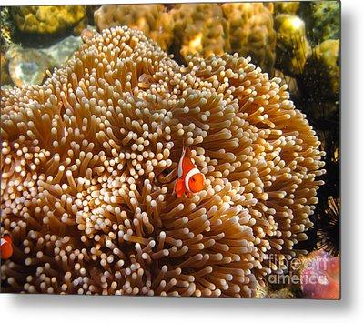 Clownfish In Coral Garden Metal Print by Fototrav Print