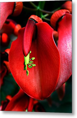 Metal Print featuring the photograph Cockspur Coral Tree by William Tanneberger