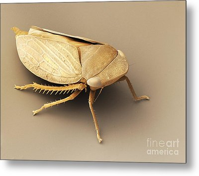 Common Froghopper, Sem Metal Print