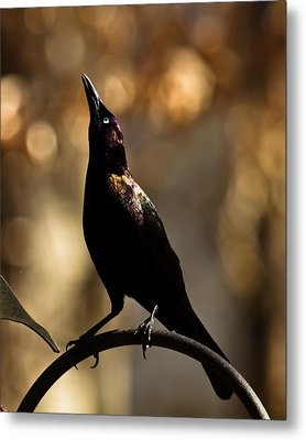 Metal Print featuring the photograph Common Grackle by Robert L Jackson