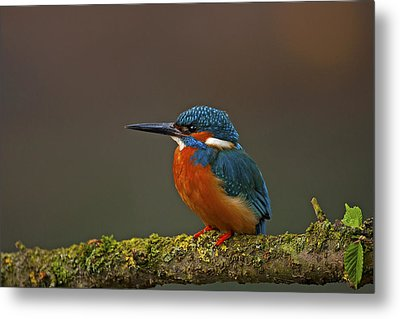 Common Kingfisher Metal Print by Paul Scoullar