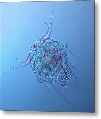 Copepod Larva Metal Print by Marek Mis