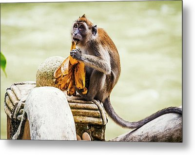 Crab-eating Macaque Metal Print by Paul Williams