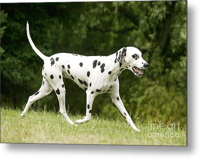 Dalmatian Dog Metal Print by Jean-Michel Labat