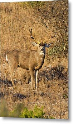 Desert Mule Deer (odocoileus Hemionus Metal Print by Larry Ditto